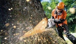 Рубка деревьев во дворах на улице Ольги Берггольц проводилась по закону